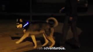 HALO MINI LED PET COLLAR Beautiful Husky