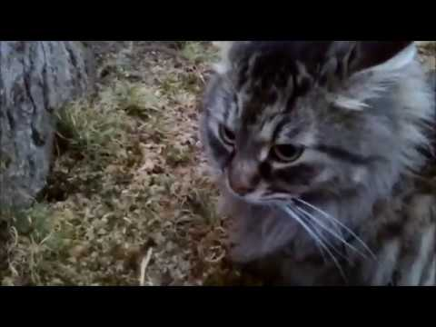 Walking My Maine Coon Cat Like A Dog