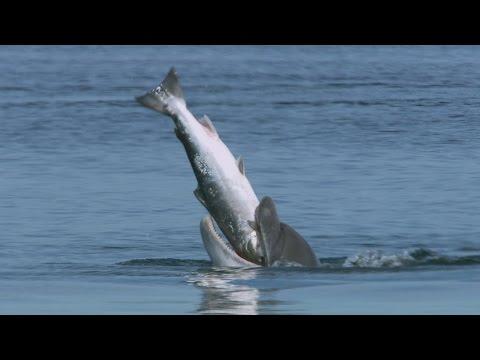 Why do dolphins vomit Atlantic salmon?   Highlands - Scotland's Wild Heart