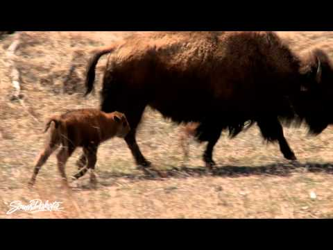 Baby Buffalo in Custer State Park in South Dakota