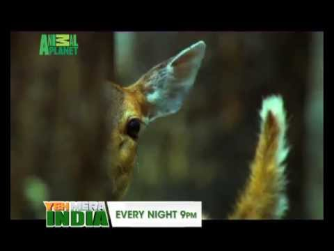 Yeh Mera India anthem 2013 Animal Planet