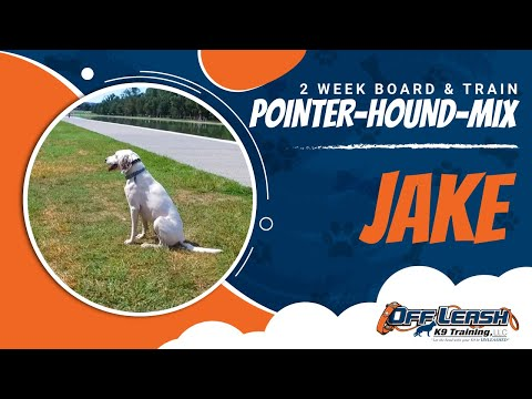Pointer-Hound-Mix, Jake! Hounds Off Leash With A Lot of Distractions!