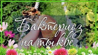 видео Цветки тыквы рецепты – применение цветков тыквы