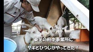東芝府中事業所にヤギとひつじがやってきた!