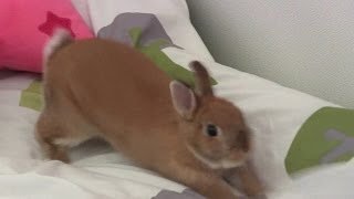 Digging!! Sliding!! Cute Netherland Dwarf bunny Rabbit play on the bed.
