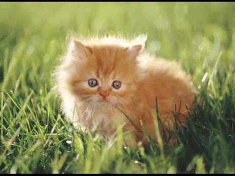 Ojos Azules kitten 2