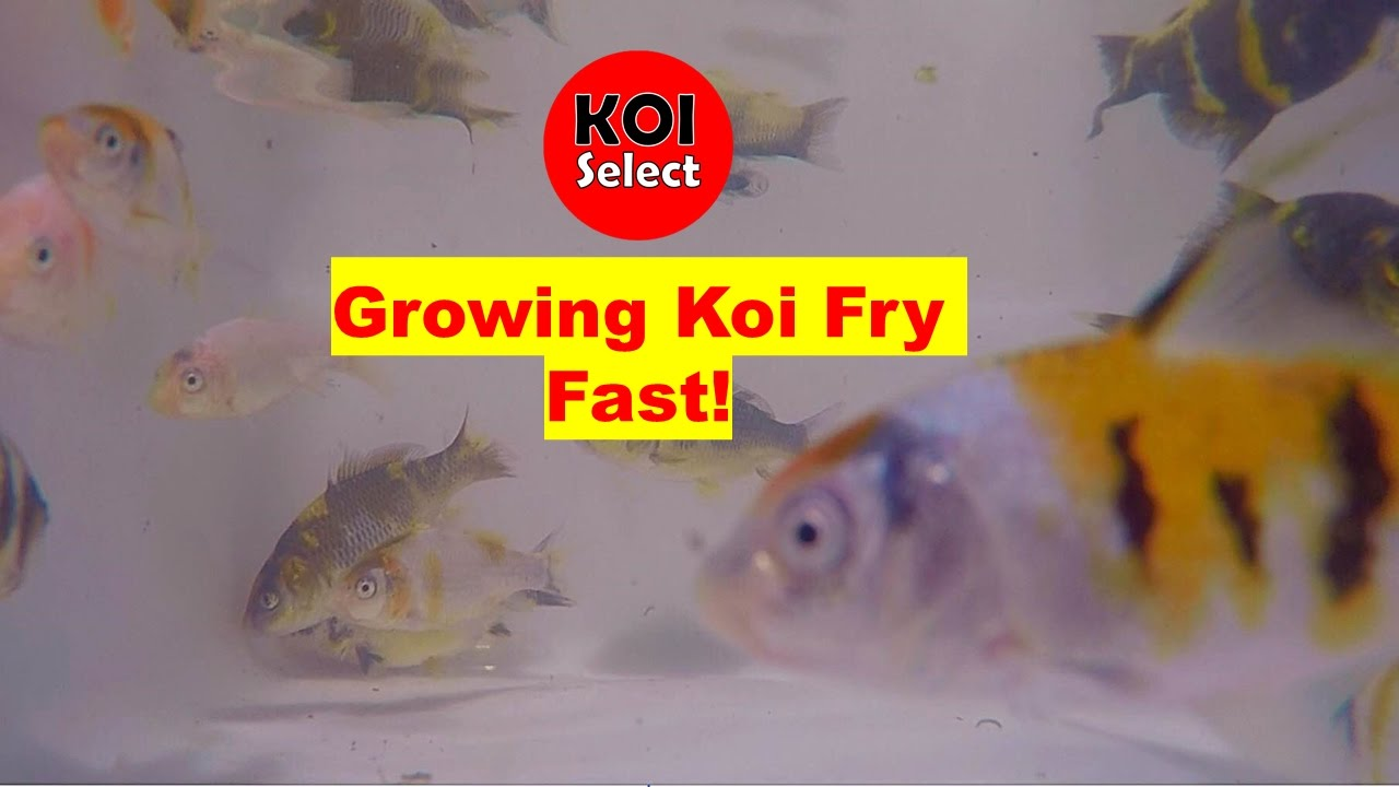 Growing koi fry fast youtube growing koi fry fast nvjuhfo Choice Image