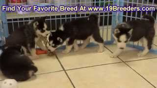 Siberian Husky, Puppies, For, Sale, in, Mobile, County, Alabama, AL, Huntsville, Morgan, Calhoun, Et