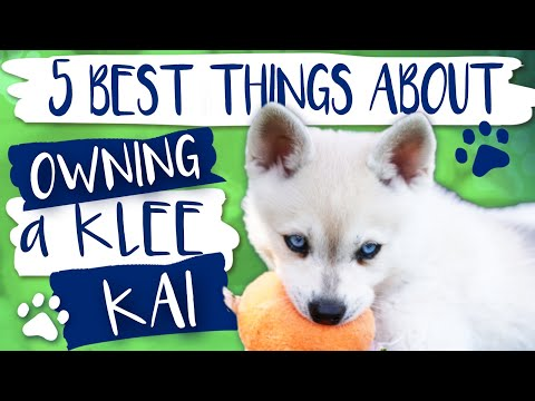 Alaskan Klee Kai | 5 Best things about owning a Klee Kai