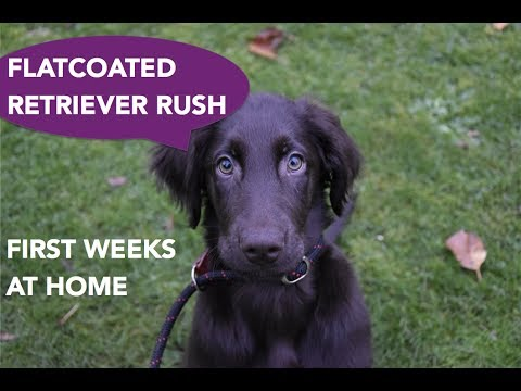 Flatcoated retriever puppy Rush - first weeks at home