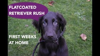 Flatcoated retriever puppy Rush  first weeks at home