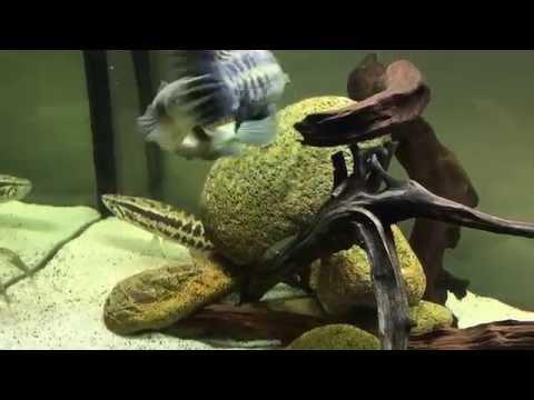 Fishing - How Banana fish eating Snakehead fish . Cá Chuối ăn Cá Lóc