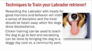 Training Aggressive Labrador Retriever Information - Complete Guide