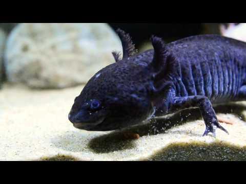Q。。。青島水族。。。U-T11614波蘭Tropical德比克---六角恐龍.兩棲.角蛙.底棲魚長條飼料==250ml