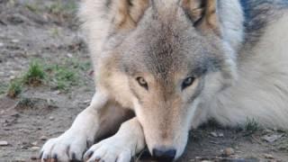 いつのまにか傍で寝ているオオカミたち