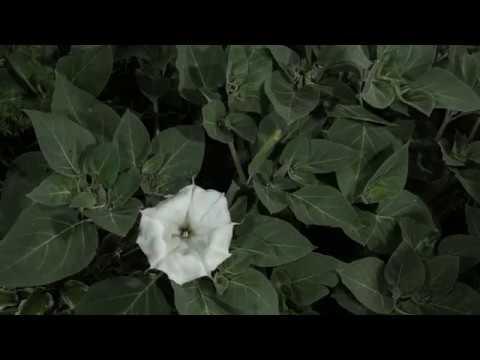 Datura the Moonflower