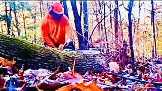 Cutting oak log with Stihl MS461 chainsaw with 28