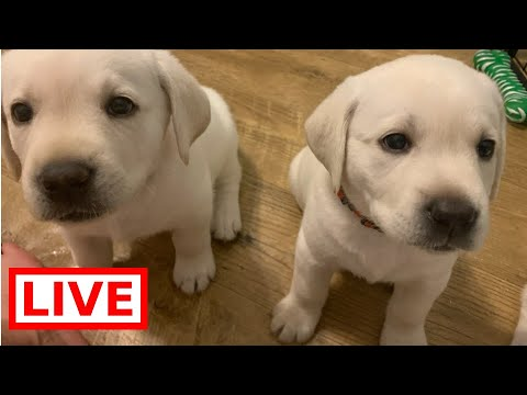 LIVE STREAM Puppy Cam! Adorable Labrador Puppies at 6 Weeks Old