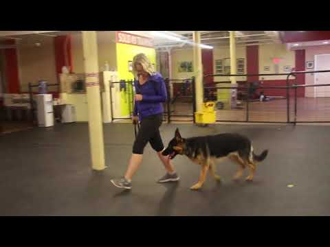 Dog Training | Rieka at the end of her board and train | Solid K9 Training Dog Training