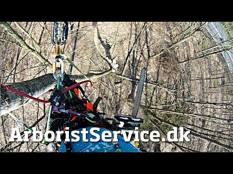Pruning large poplar trees • Tree Climbing Arborist • Beskæring af træer Odense/Fyn