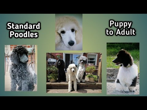 Standard Poodles from Puppies to Adults