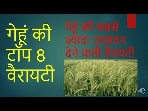 Top 8 variety of wheat गेहूँ की खेती उन्नत किस्मे