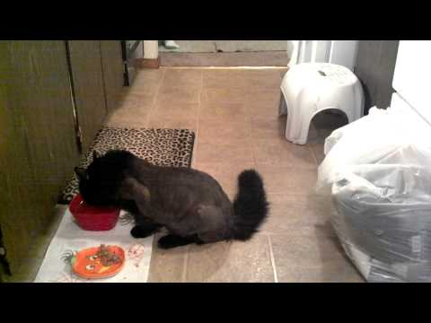 Diabetic Neuropathy in a newly diagnosed cat- Reuben James
