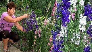 Однолетние цветы для сада  Дельфиниум однолетний