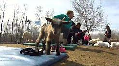 Get your goat: Animal yoga a hit at Manitoba farm