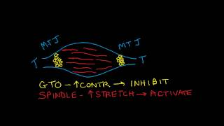 Muscle Activation and Inhibition: GTOs, spindles and reciprocal inhibition
