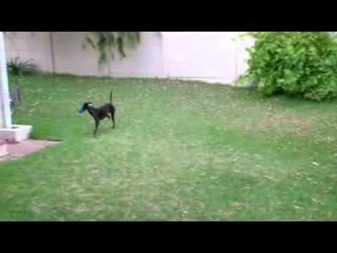 Italian Greyhound Running