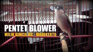 BRANDY WATCH : Amazing ! Pentet Blower Mojokerto - Long Tailed Shrike - Lanius Schach - Singing