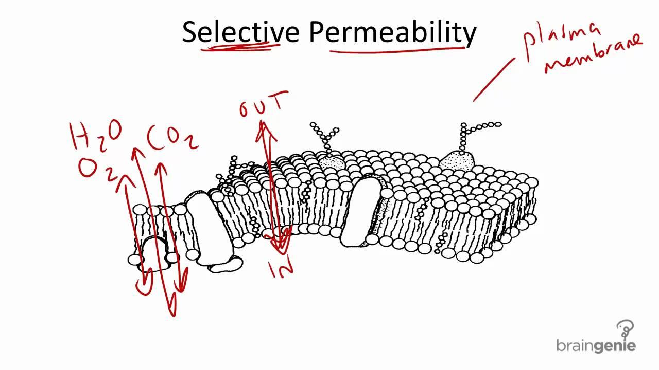 2 1 6 selective permeability youtube