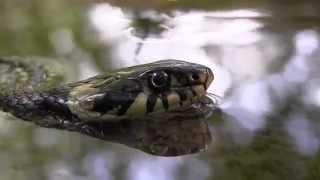 Užovka obojková (Natrix natrix) - PP Škvorecká obora-Králičina