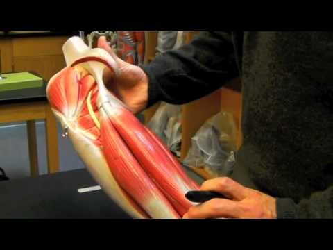 AP1 hip, thigh, leg muscle anatomy - YouTube