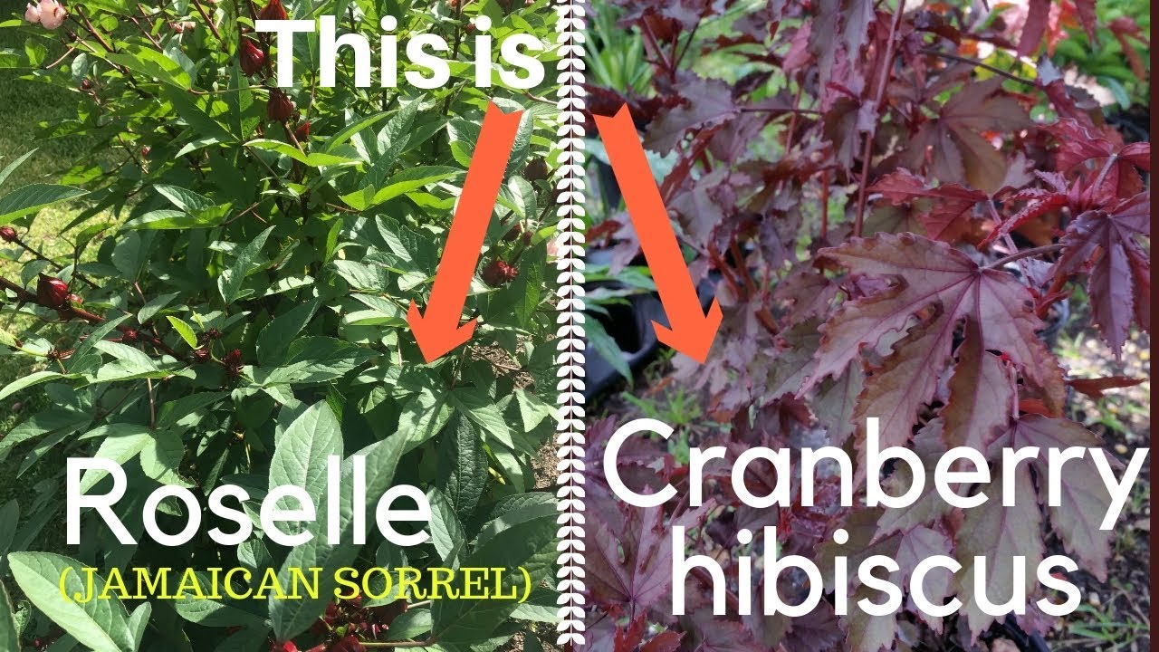 Difference Between Roselle And Cranberry Hibiscus Youtube
