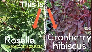 Difference Between Roselle And  Cranberry Hibiscus
