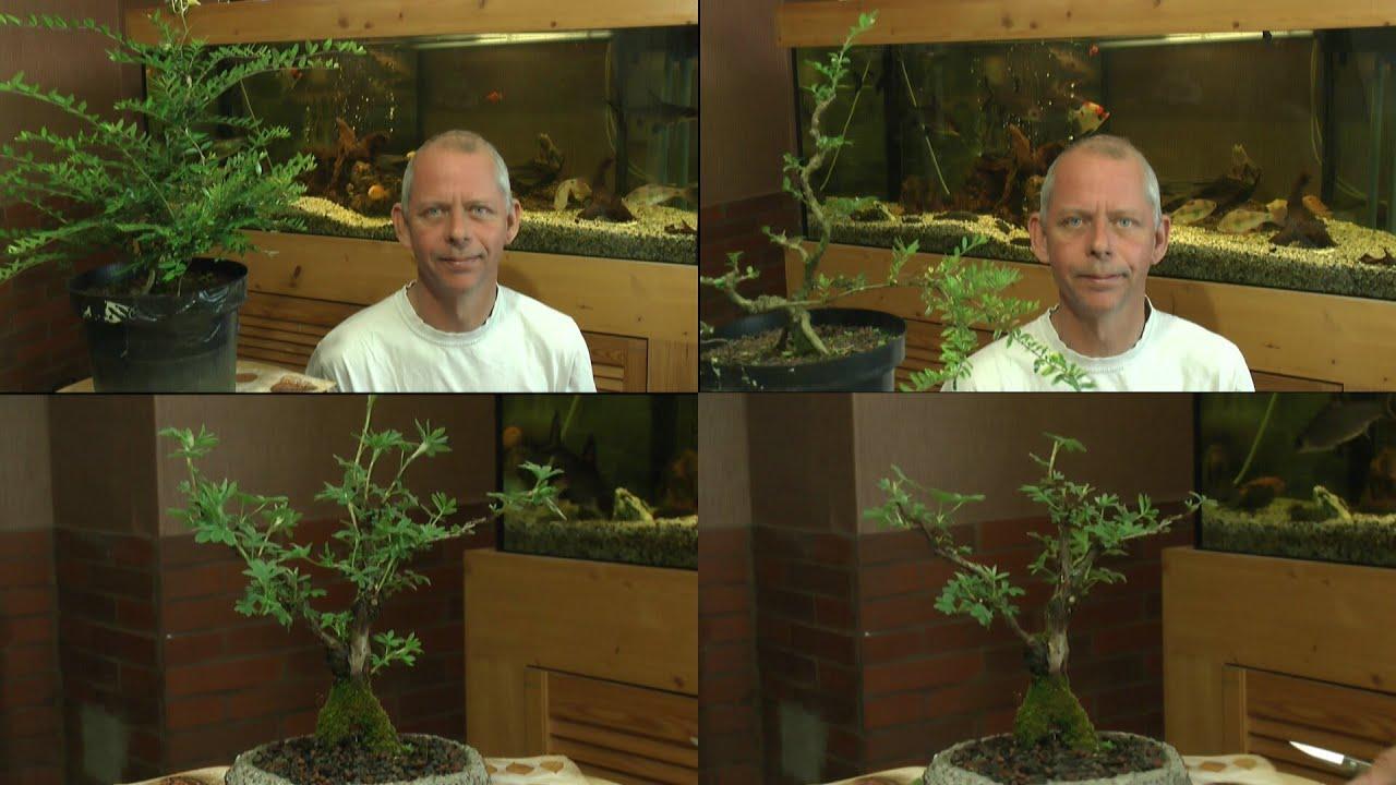 bonsai schneiden die veredelung youtube. Black Bedroom Furniture Sets. Home Design Ideas