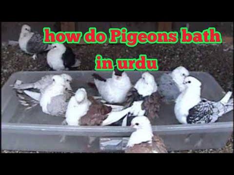 Full Download] A Class Banarasi Ghagray Kabootar In Pakistan Pigeons