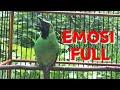 Emosi Tinggi Pancingan Jitu Cucak Ijo Agar Ikutan Gacor Dan Emosi  Mp3 - Mp4 Download
