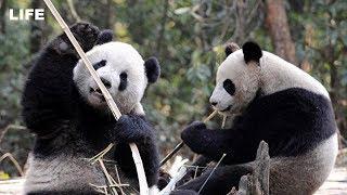 Панды обживаются в московском зоопарке.