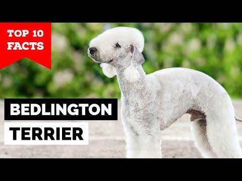Bedlington Terrier - Top 10 Facts