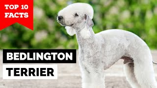 Bedlington Terrier  Top 10 Facts