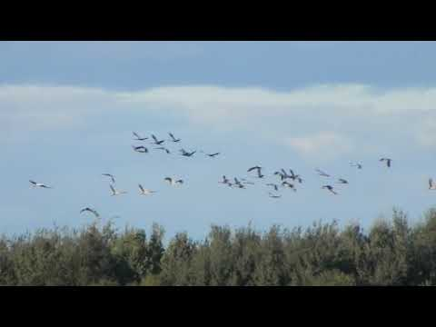 Farewell Cranes in Svislach river floodplain 29 09 2018 by DzVincheuski