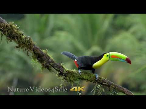 Keel-billed Toucan - sing in the rain. 4k UHD footgae for sale