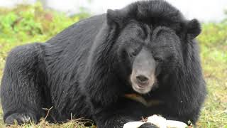 Lom - Possibly The Most Handsome Moon Bear In The World?