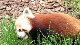 Red Panda Eating Grass