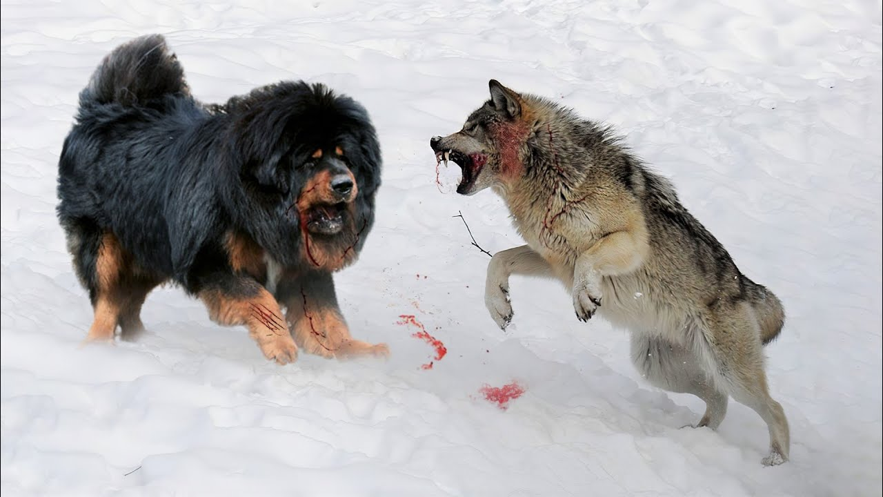 10 Dogs That Can Defeat Wolves
