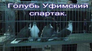Голубь Уфимский спартак. Выставка. Уфа. 27.12.2015.