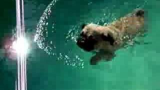 Pug Swimming In Pool